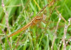 Broad Scarlet Female. Crocothemis erythraea (gailhampshire) Tags: broad scarlet female crocothemis erythraea taxonomy:binomial=crocothemiserythraea