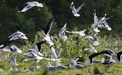 Herring and Black-headed Gulls in flight (Paul Cottis) Tags: paulcottis finland 21 june 2016 boreal bird
