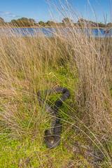 Lowlands Copperhead (Austrelaps superbus) (JLoyacano) Tags: austrelapssuperbus jacobloyacano narawntapunationalpark narrawantapu snake venomous animal austrelaps copperhead lowland lowlandscopperhead lowlandscopperheadaustrelapssuperbus reptile wildlife