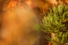 Touching the light (FunkyPorcupine) Tags: nature bokeh abstract art autumnal autumn canon sequoia tree outdoor