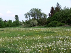 Fritzlar Blumenwiese P1020408 (martinfritzlar) Tags: fritzlar schwalmederkreis nordhessen hessen wiese blumenwiese blumen pusteblumen lwenzahn meadow flowers dandelion