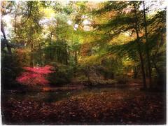 Magical Mystery Tree (Ruth Nicholas) Tags: falltrees autumn littleredtree riverlandscape woodlands magicalwoods picturesqueoutdoors naturesbeauty leafyforestfloor earlymorninglight