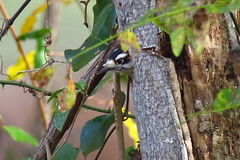 Downey Woodpecker excavating (Hayseed52) Tags: downey woodpecker bird nature hole tree deadtree