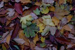 Rima Dadenji, Fallen leaves provide food, shelter, nesting/bedding materials to a variety of wildlife, 2016 (Rima Dadenji) Tags: fallenleaves autumnleaves autumn fall forest wood nature permaculture agriculture soil earth environment agroforestry agroecology ecology ecosystem leaves leaf wildlife shelter nesting bedding fujifilm xt10 nofilter rima dadenji