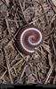 American Giant Millipede (Spirobolidae, Narceus americanus/annularis complex) (insectsunlocked) Tags: myriapoda diplopoda spirobolidae narceus narceusamericanusannulariscomplex americangiantmillipede