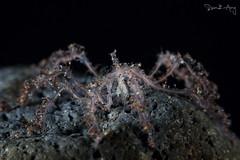 Sea Spider (Pycnogonida) (Randi Ang) Tags: seaspider sea spider pycnogonida seraya secret tulamben bali indonesia underwater scuba diving dive photography macro randi ang canon eos 6d 100mm randiang