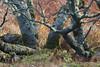 Japonicus Pipit on Middleton Island, Alaska (Cameron Eckert) Tags: birding beauty biodiversity birder birdwatcher bird birds birdwatching biosphere ecosystem ecological ecology ebird expedition subspecies migration middleton avian avifauna alaska pacific pacificocean island rarebird raid discovery wilderness wild sea willows willow
