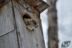 Grand polatouche (cureuil volant) (anthonypoittevin) Tags: animaux animals animal faune sauvage wild voyage canada qubec mammifre mammal grand polatouche cureuil volant glaucomys sabrinus northern flying squirrel