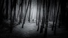 En familia (Luis Marina) Tags: bosque familia liencres troncos niebla fog family forest bnw bw blancoynegro dark oscuro cantabria spain autumn otoo tree arbol pinos pine path sendero 35mm