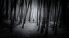 En familia (Luis Marina) Tags: bosque familia liencres troncos niebla fog family forest bnw bw blancoynegro dark oscuro cantabria spain autumn otoño tree arbol pinos pine path sendero 35mm