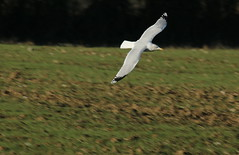 Swooping gull. (aitch tee) Tags: birds nature wildlife gulls flying walesuk bbcwalesnaturelandscapes