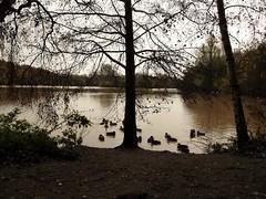 Rufford Country Park (kelvin mann) Tags: ruffordcountrypark rufford ruffordpark nottinghamshire notts water ducks wildlife outdoors