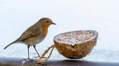 Robin (nicklucas2) Tags: animal bird robin coconut