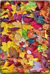 Fall Leaf Pattern, Autumn colours (Reza Ganjehi) Tags: fallleaf fall leaf leaves fallcolored colored beautifulfallleaf autumnleaves autumn yellow red orange brown fallingdown falling down autumncolours closeup interesting fieryred leavesturn bright depthoffield colourful bokeh abstract colors colorful dof composition amazingseason october serene colourartaward wonderfulshot ego excapture autumnmood seasons vision trees albero leavesandtrees alberiefoglie leaftexture seasonschange beautiful colours texture feelthough autumnisasecondspringwheneveryleafisaflower fallfoliage yellowleaves brightredleaves oakleaves changecolor fallarrives brightleaves redleaves fallscenes mapleleaves brilliantfall colorfulfallenmapleleaves colorfulfallenleaves autumnglory mortonarboretum extraordinaryscenes extraordinary scenes