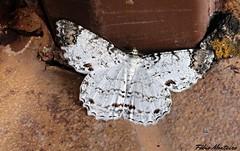 Mariposa / Moth (Fábio & Carol - Itaí - SP - Brasil) Tags: mariposa moth inseto insect animal brasil brazil américadosul