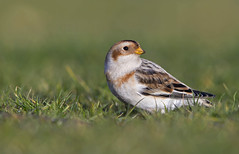 Snow Bunting (oddie25) Tags: canon 1dx 600mmf4ii bunting snowbunting bird wildlife nature winter migrant rarebird