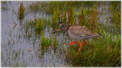 Common Redshank (Tringa totanus) - Rdbena (Palmius Photo) Tags: wildlife nature natur vatten lake fglar birds rdbena galtabck tringatotanus commonredshank