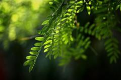 *** (pszcz9) Tags: polska poland przyroda nature li leaf bokeh ziele green beautifulearth sony a77 zblienie closeup