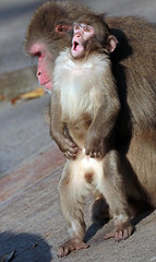 japanese macaque artis JN6A0815 (j.a.kok) Tags: macaque japanesemacaque japansemakaak makaak macaca artis artiszoo aap monkey primaat primate