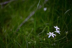*** (monorail_kz) Tags: helios442 asterisk bethlehemstar птицемлечник grass green summer flower white vintagelens manualfocus bokeh blur