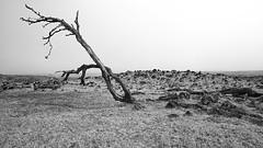 Prevailing Wind (iecharleton) Tags: hawaii bigisland hilo kailua kona saddleroad landscape blackandwhite monochrome lava lavafield tree deadtree prevailingwinds tradewinds