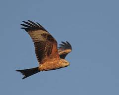 Red Kite (barry_wardley) Tags: redkite muddyboots