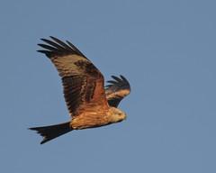 Red Kite (Milvus milvus) (barry_wardley) Tags: redkite muddyboots