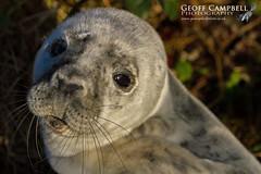 Young Grey Seal (Halichoerus grypus) (gcampbellphoto) Tags: halichoerusgrypus greyseal pup northantrim northernireland mammal gcampbellphoto