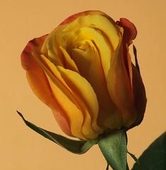 Orange/yellow rose (rick ligthelm) Tags: rose orangeyellow orange yellow fleur blume bloem flower macro closeup