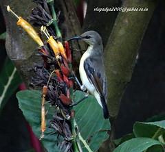 Loten's Sunbird-Eclipsed Male (Cinnyris lotenius) (vlupadya) Tags: greatnature bird animal aves fauna indianbirds lotens sunbird eclipsed male cinnyris kundapura