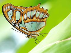 Malachit (pen3.de) Tags: penf zuiko 60mmmakro tier insekt falter schmetterling malachit farben colors flgel legs beine muster blatt diagonal focusbkt details