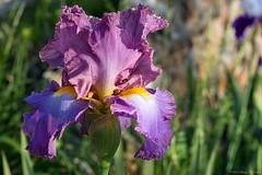 Spring Beauty (Fly Sandman) Tags: spring flower iris beardediris lavendar purple bokeh plant outdoors neoshomo