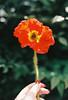 Poppy Love (Katie Tarpey) Tags: poppy flower film 35mm hand kodak kodakportra400 bokeh depthoffield nikonfm10 nikkor50mm14
