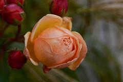 Cutting the last roses (balu51) Tags: garten rosen englischerose blte knospen grser apricot orange rot grn grau herbst garden roses flower bloom bud red green grey cuttingthelastroses 100xthe2016edition 100x2016 image87100 november 2016 copyrightbybalu51