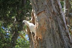 Sulphur Crested Cockatoo (jpotto) Tags: australia sydney birds centennialpark cockatoo sulphurcrestedcockatoo