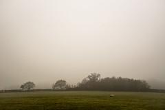 Grey day grazing (Stuart.67) Tags: mist misty field trees fog sheep nikon d800 somerset england farm green grey dull naturethroughthelens