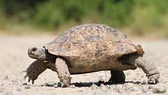 Spur-thighed tortoise (Testudo graeca) (D. Kane) Tags: spur thighed tortoise testudo graeca ibera turkey danielkane canon500d tamron90mm macro reptile