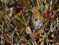 Song thrush ( Turdus philomelos ) - Berry bashing !! (Mid Glam Sam1) Tags: thrush berries winter feeding wales local perched songthrush turdusphilomelos songbird