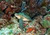Green Sea Turtle, Chelonia mydas, Bunaken National Park, Indonesia (Jeremy Smith Photography) Tags: bunakennationalpark cheloniamydas conservation diving endangered greenseaturtle indonesia jeremysmith jeremysmithphotographycouk marinelife scubadiving