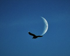 Rising Moon and Seagull (howell.davies) Tags: moon frost birds bird seagull sky skyscape hendy wales uk nikon d3200 tamron 70300mm waxing