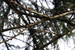 Larix laricina-18 (The Tree Library (TreeLib.ca)) Tags: tamarack larixlaricina