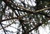 Larix laricina-18 (Tree Library) Tags: tamarack larixlaricina