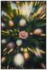 Er is een roos ontsprongen (glukorizon) Tags: 52weeksof2016 bloem celebration christmasball christmasbauble christmastree christmastreelights colourchange flower frame green groen kader kerstbal kerstboom kerstboomlampjes kleurverandering plant roos rose zoomblur