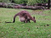 Joey at home (spelio) Tags: jervis bay ace act roo