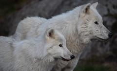 Loups blancs Omega (5) (DomyNature) Tags: parcomega loupblanc