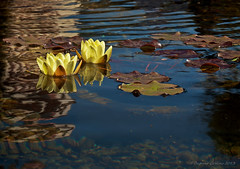 Water Lily Pond (Dagmar Collins) Tags: ca flowers usa santabarbara pond waterlily santabarbaramission sloccfieldtrip