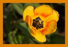 Reddish-Yellow (Sergei P. Zubkov) Tags: vyborg may flowers tulip yellow orange reddish mature