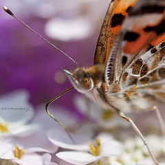 Portrait of a Painted Lady (Richard Beech (rdb75)) Tags: flowers portrait macro eye nature closeup butterfly insect cosmopolitan wildlife pollen paintedlady vanessacardui 2013 sigma15028macro canon5dmarkii richardbeech wwwrichardbeechphotographycom portraitofapaintedlady