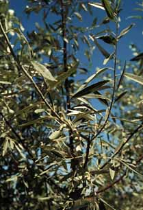 Photo - Russian Olive