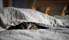 Lurking.... (montreal_bunny) Tags: macro green eye ariel cat canon bed sheets hiding predator highlandlynx efs60mmf28macrousm 3652013 2013yip canonrebelsl1